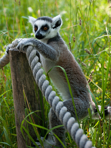 Lemur (by Adam Honoré)