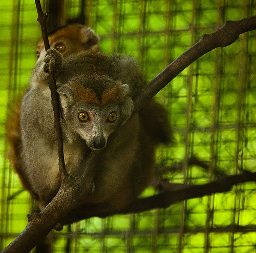 Crowned Lemur (by rc.photo)