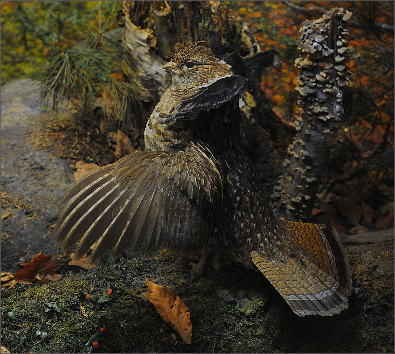 amnhnyc:  Rod photographed this Ruffed Grouse in the the Museum's Hall of North American Forests.  Each of the Museum's habitat dioramas depicts a scene from a real place, cast in the light of a particular time of day. These re-creations are based on meticulous observations of scientists in the field and the on-site sketches of the artists who accompanied them. This particular diorama depicts Sunset Hill on the eastern shore of Sunapee Lake in New Hampshire in early October.