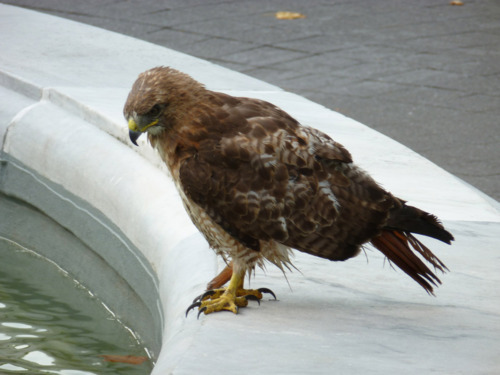 Hawk contemplating a dip in the Fountain of Life