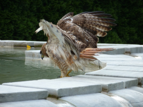 Hawk hops into the Fountain of Life at NYBG