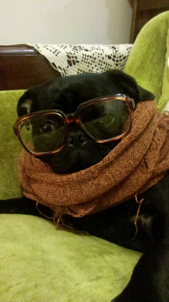 "hipsterpuppies:  for a ""social anthropology experiment,"" marcus will be attending the gathering of the puggalos [via samantha r]"