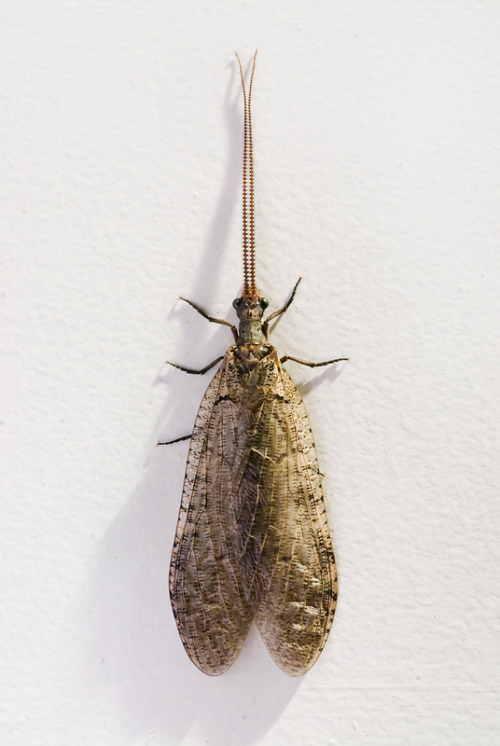 "a female dobsonfly.  this was on the front door last night.  it's actually a small one at about 2.5"" from wing tip to the tip of its pincers, they can reach 5"" (12.5cm).  that's not including the crazy looonng antennae."