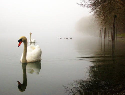 Swans glide through the mist on the Rhine River in Switzerland (by aremac)