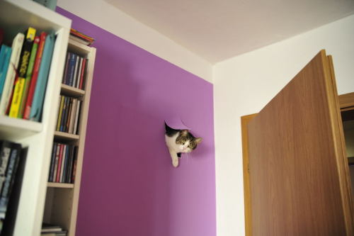 "thedailywhat:  Cat Out Of Nowhere of the Day: Redditor mister_asdf, who says he just moved into a new apartment, walked into one of the rooms and saw this. He explains: ""One of our cats found a way through the chimney duct which we wallpaper'ed over.""  I liked it better when I didn't know the backstory and pretended the house came with a complimentary Wall Cat. [reddit.] Wall cat FTW."