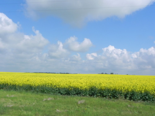 Driving out on Glen Park Road over the weekend. Canola and blue skies, home.