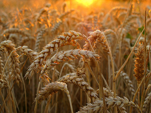 Wheat in golden Evening Light (by Batikart)