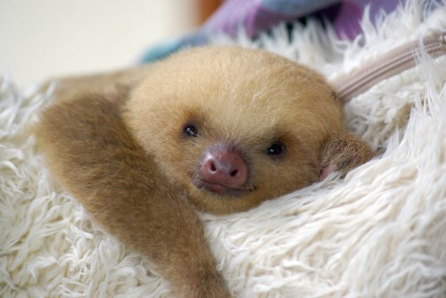 fuckyeahbabyanimals:  cassielcraven:  Look at this little baby sloth. It's smiling. It's like… it's wishing me to have a great Wednesday. I think I'm going to do it… for FLUFFY little baby sloth.  Listen to this baby sloth everyone and have a happy Wednesday!