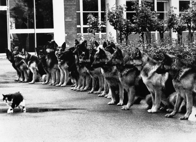 Cat walking past well-trained german shepherds (1940s)
