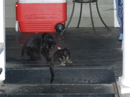 Ms. nugget and baby nugget. two stray kitties we've been feeding