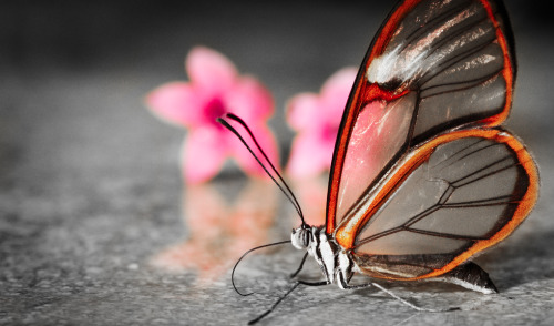 photojojo:  Have you heard of Glasswinged butterflies? They're transparent butterflies that live in Central America! Photo by Swamibu via Gizmodo
