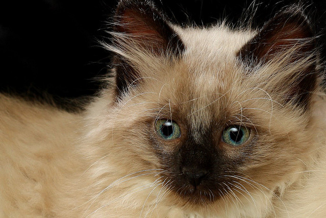 Kitten Long Hair by Picture Zealot on Flickr.