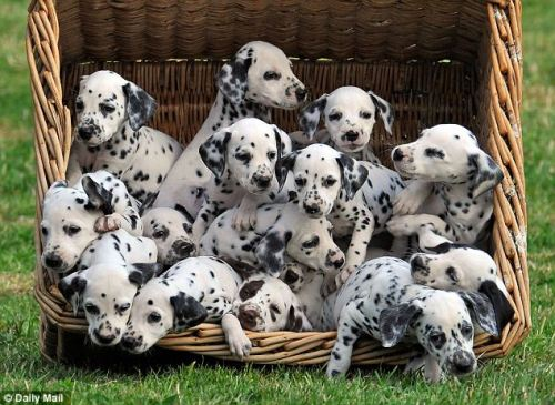 It's not 101 but 16 Dalmations. SO cute.