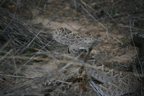 My lifer Crotalus atrox (Western Diamondback Rattlesnake) I have a few better pictures, but this'll do for now. :) He was a feisty one… buzzing the whole time and coiled up as soon as he saw me- Tucson Arizona.