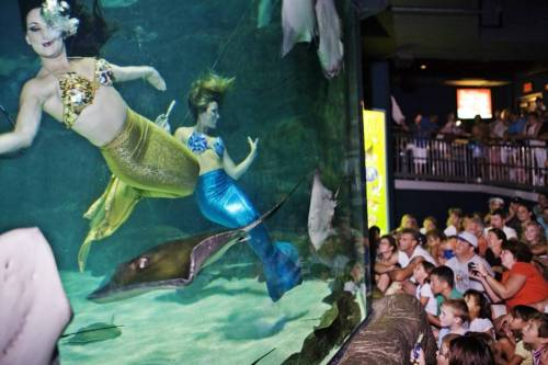 mermaidescapades:  Weeki Wachee Florida's mermaids perform at Ripley Aquariums!