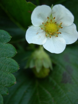 tacofarts:  Strawberry flower. July, 2011.