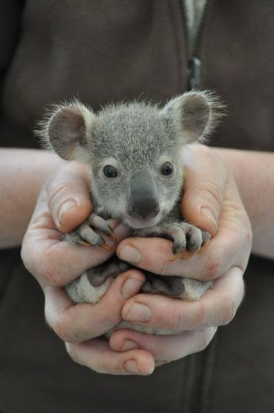 lemonjuice1223:  Koala Joeys Galore for Australia's Dreamworld - ZooBorns