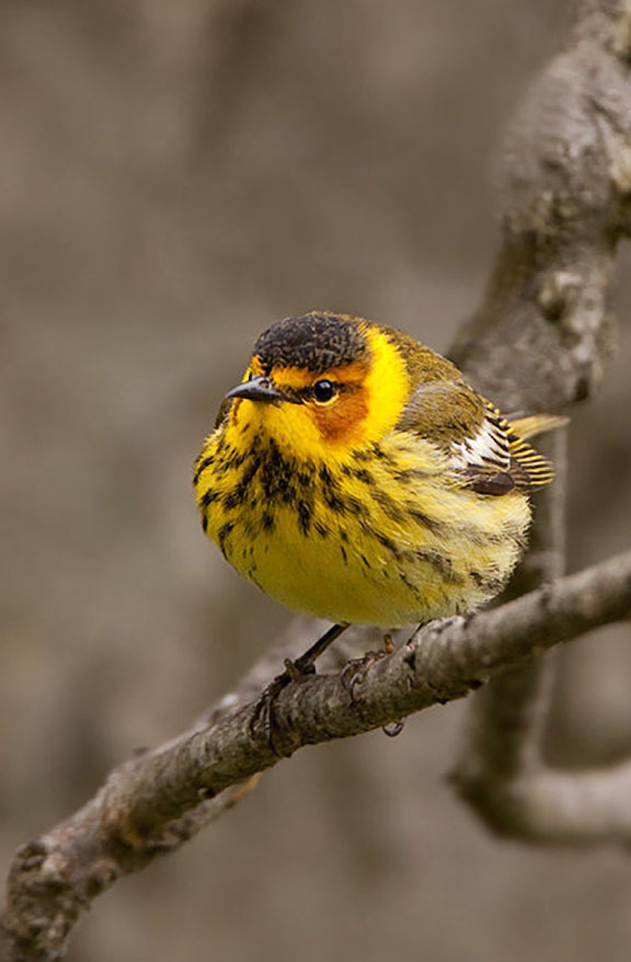 Cape may warbler (Dendroica tigrina), a neotropical migrant which breeds in the Boreal forest.