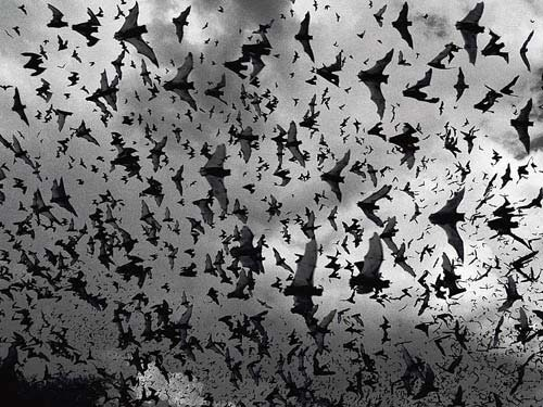 "creepicrawlies:  A group of bats is called a ""cauldron."""