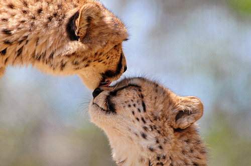 Tenderly licking cheetah (by Tambako the Jaguar)