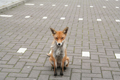 Burger King Fox by Dave A C on Flickr.These foxes are begging in the car park of Burger King, Braehend, Glasgow.