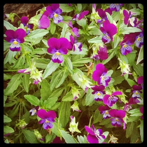 pansies.  (Taken with instagram)