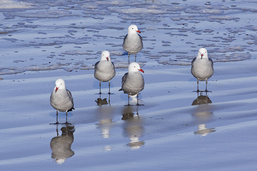 seatopia:  Heermann's Gulls (by marlin harms)
