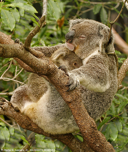 Koala youngster snuggling close to sleeping Mother  (by WildImages)