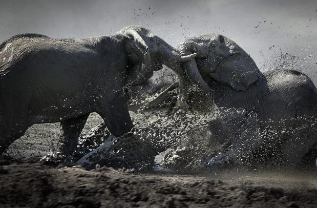 Male African elephants fighting in Botswana. Picture: J&B Photographers / Barcroft Media