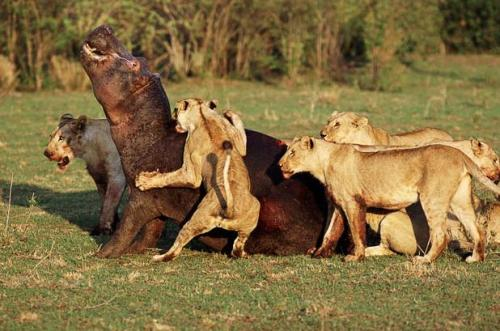 thebigcatblog:  A pack of lions attack a hippopotamus in Masai Mara, Kenya. Picture: Steve Bloom / Barcroft Media