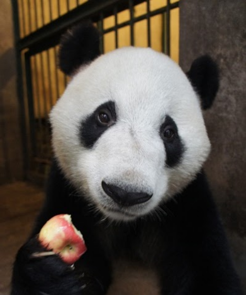 fuckyeahgiantpanda:  Kou Hin (Xing Bang) at the Chengdu Giant Panda Base on July 22, 2011. © Yumikaji15.