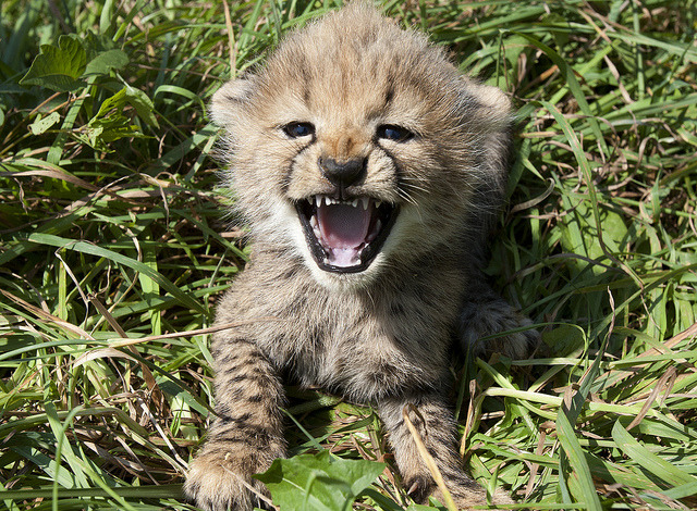 Image description: One of five cheetah cubs born at the National Zoo's Conservation Biology Institute. Photo by Mehgan Murphy, Smithsonian's National Zoo To see more pictures of cheetah cubs, watch this slideshow from the National Zoo.