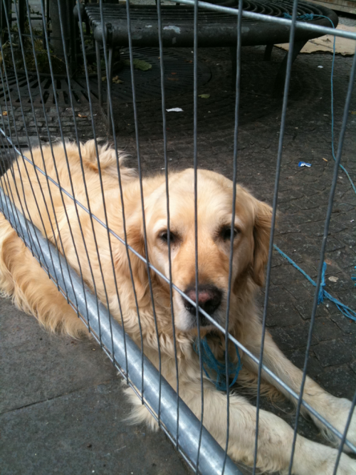 There is a building site near my work and this dog appears to work there, I think he was on lunch here though. Looks like a good guy.
