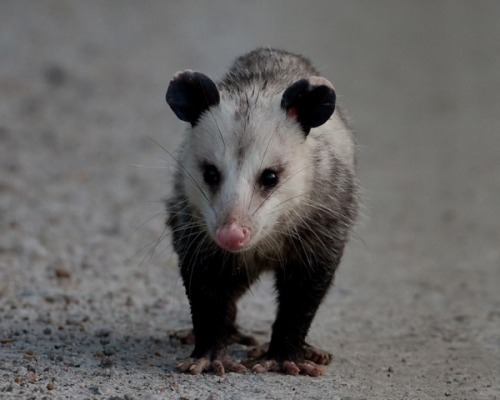 "OPOSSUM EcounterDidelphis Marsupialis©Steve Creek Outdoors One night a few years ago our Pitbull Mix was whining to go out into the yard. I opened the door, heard a scuffle and then she ran past me back into the house carrying a large animal in her mouth. I thought it was a big gray Persian Cat. She ran down the hall and dropped it as far away from the door as she could get, then walked away leaving a full-grown opossum, lying on our bedroom floor. What to do now? It appeared uninjured. It was definitely ""out,"" but for how long? I knew that I had to act fast or I'd have a frightened animal running around the house which would not be good. I put the dogs out and got to work. As luck always seems to have it - I was home alone, the house was on the market and everything we owned was either on display, pared down or had already been moved — so, no gloves, not even oven mitts, and no box handy that I could use for transport.I'd have to do this barehanded With no other options handy and limited time, I sucked up my fear, and grabbed it by the base of the tail to carry it outside. It was heavier than I expected, but thankfully still unconscious. I had about a hundred feet to get to the front door. Please God I thought, let it stay ""unconscious"" the entire trip. I did wonder if it could climb up my arm and attack my face. I had to put it down to open the front door, and then pick it up again. Once outside, I set it in a protected spot just outside the door and waited. I wanted to make certain that it was okay, and I was also curious to see it ""wake up."" A few moments later, the opossum groggily staggered to it feet and shuffled off slowly into the night. —- Some Opossum Facts: Playing Possum or Thanatosis, is an involuntary physiological response (like sneezing), rather than a conscious act (like blowing the nose).But the animal has to be really stressed in order for Thanosis to occur. Normally they will hiss first or try to escape Opossums are the only marsupial native to North America They lived 70 million years ago during the Mesozoic Era in the late Cretaceous period  Adults weigh 5 to 15 lbs, while newborn babies are about the size of a honey bee Their life span is 3 years in the wild; longer in captivity They are often mistaken for a large rat, but they are not rodents,  				they are marsupials Opossum fur can be white or black, but is usually gray They are solitary, nocturnal and can live wherever there is food, water and shelter They can strike surprisingly fast like snake (I've been bit so I  				know!) They can swim Opossums are excellent climbers using their hands, feet and tail to grasp Fact Source: http://www.planetpossum.com/facts.htm The Trifecta of nocturnal visitors to our yard: Baby Opossum Baby Striped Skunks Raccoon"