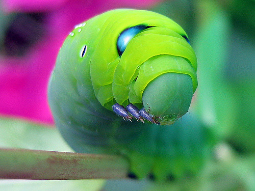 sebastianmoron:  The Oleander hawk moth is my favourite of all the moths and all the caterpillars