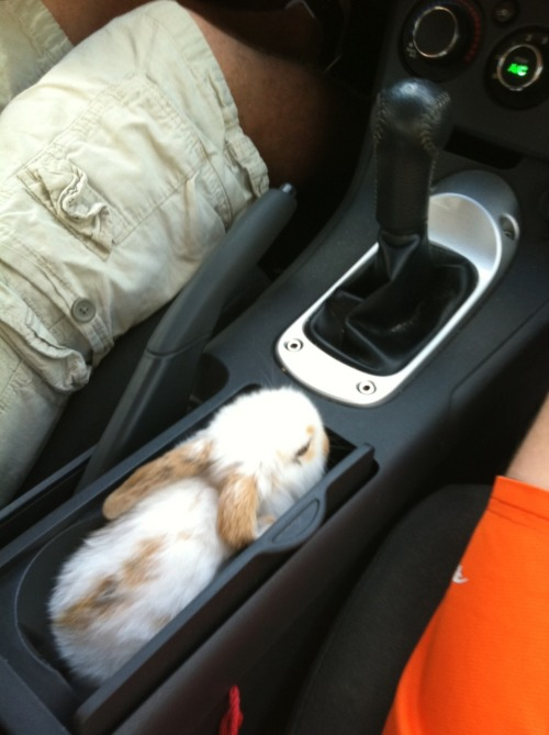 Cratos the 6 week old bunny chillin' in my roomate's car:] Submitted by williambaumanniii