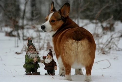 One of this corgi's favorite hobbies is pulling traveling gnome pranks on his neighbor.