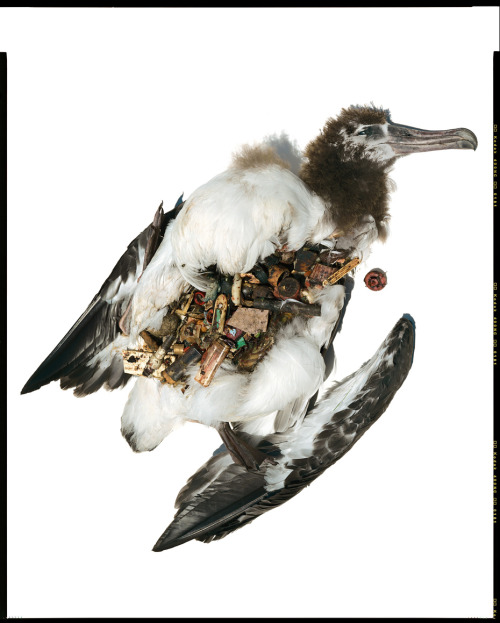 geneticist:  Trash found in a seabird, photo by David Liittschwager.  SAD BUT TRUE
