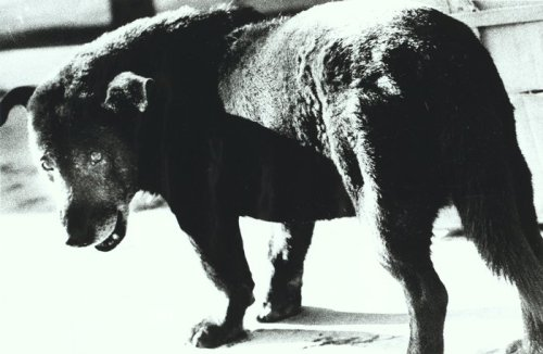 directtransmission:Stray Dog (Daidō Moriyama, 1971)