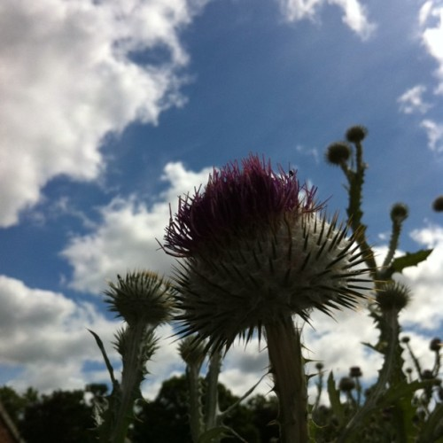 #thistle (Taken with instagram)