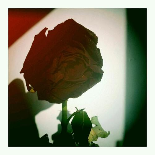 rose (Photo by yiah)