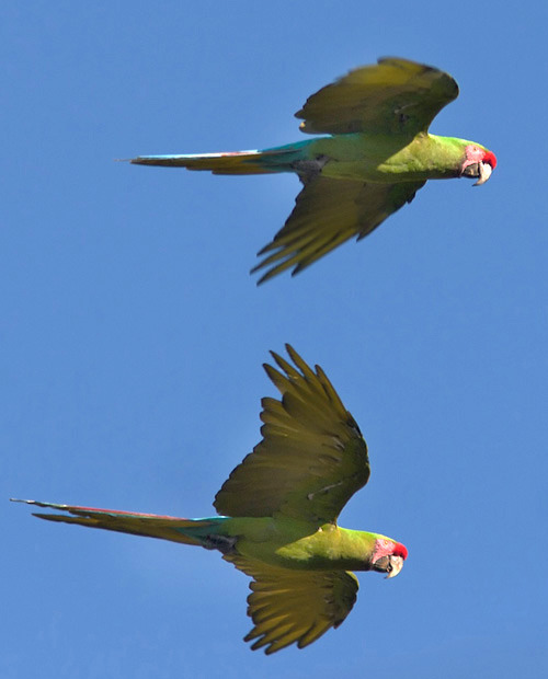 Military Macaws (Ara militaris) flying wild in Mexico  Click the photo to read where to find these stunners written by the current president of the American Birding Association!