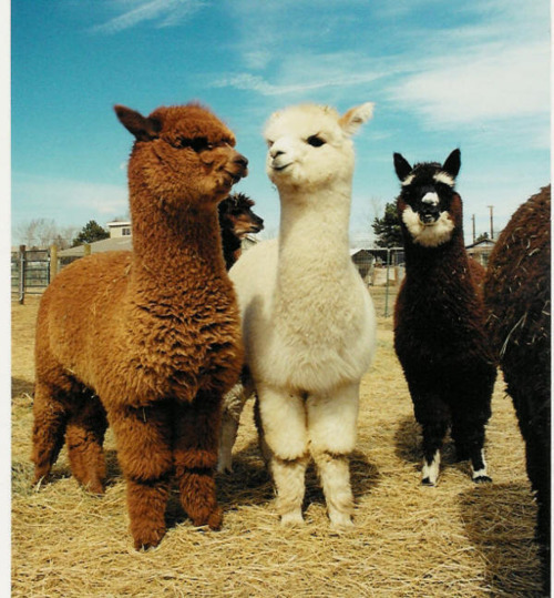 kylathegreat:  I don't want to live in a world where alpacas do not exist.   Overdosing on Cuteness!