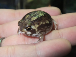 malaise666:  angry looking fat froggies are the best.