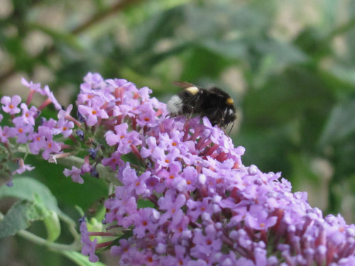 Bumblebee on a butterfly-bush