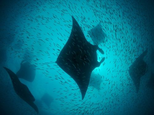 livingsea:  Manta Ray (Manta Birostris) Friendship needs no words - it is solitude delivered from the anguish of loneliness. - Dag Hammarskjold