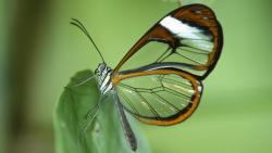 Clear Wing Butterly