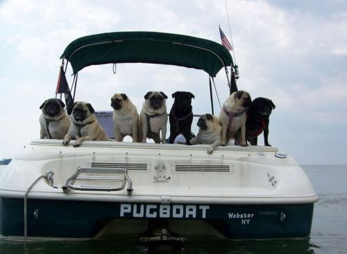 archiemcphee:  Pugboat! [via Reddit] If ever a boat of pugs deserved a tv show and and awesome theme song, it's this one. Pugboat!