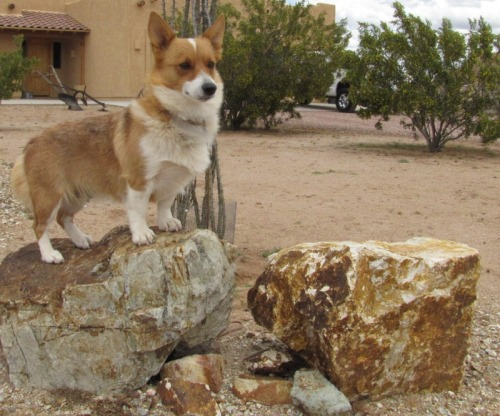This corgi really…rocks.And if there's one thing this corgi hates more, its geological based puns.