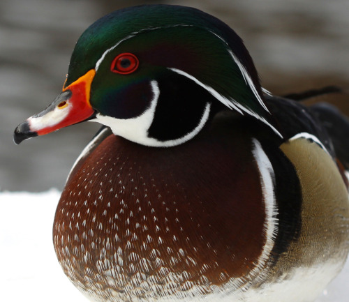 Wood Duck (Aix sponsa) in Central Park in NYC